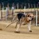 hundevæddeløb